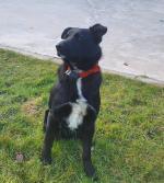 Labrador x Collie for sale.