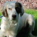 English setter in Tipperary for sale.