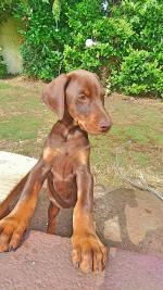 Stunning Dobermans [sold].