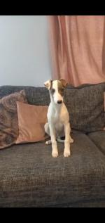Whippet for sale.