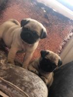 IKC Pedigree Pug Puppies- Bear & Honey for sale.