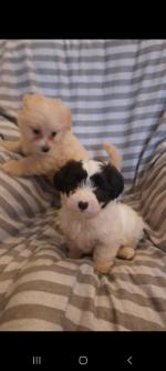 Maltipoo puppy's for sale.