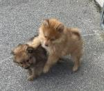 Leo and freya purebred fluffy pomeranians for sale.