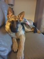5 month old German Shepherd for sale.
