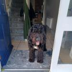 Ted the Old English Sheepdog x Poodle for sale.