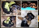 York Terrier puppies [sold].