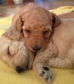 Very rare red and apricot toy poodle pups [sold].
