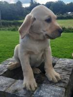 IKC Labrador retreiver puppies in Waterford for sale.