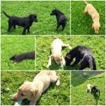 Labrador/Retriever for sale.
