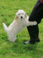 Cavapoo pups for sale.