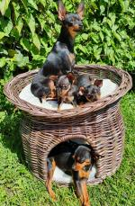 Russian toy terrier for sale.