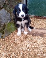 Purebred Border Collie Pups for sale.