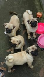 Pure Breed Pugs [sold].
