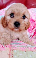 Cavachon pups in Carlow for sale.