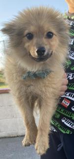 Pomeranian male for sale.