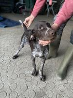 Male German pointer in Galway for sale.