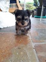 Morkie for sale.