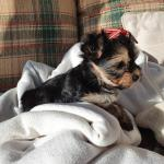 Morkie in Limerick for sale.