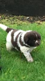 Newfoundland puppies [sold].