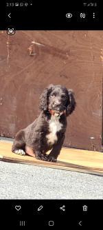 Cocker spaniel puppys for sale.
