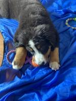 IKC Bernese Mountain Dog puppies for sale.