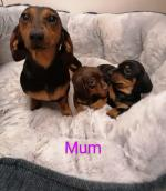 Smooth miniature dachshund puppies for sale.
