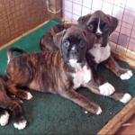 Boxer puppies [sold].