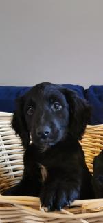 Cocker Spaniel X Puppies for sale.