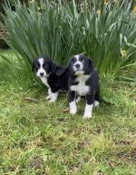 Collie x cocker for sale.