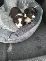 Collie puppies for sale.
