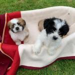 Shitzu x puppies for sale.