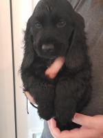 Show type Cocker spaniel for sale.