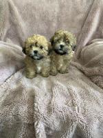 Shipoo teddies in Cork for sale.