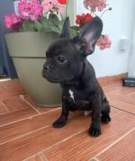 French Bulldog pups in Cork for sale.