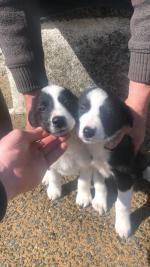 MALE COLLIE PUPS FOR SALE for sale.