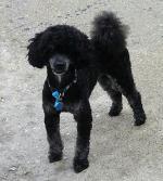 Miniature Poodle [sold].