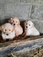 Golden retriever pups for sale.