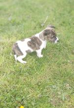 Jack Russell Terrier puppy for sale.