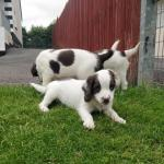 IKC English Springer Spaniel Puppies for sale.