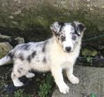 Blue Merle for sale.