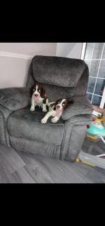 Toby, Bunny Springer Spaniel Males for sale.