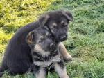 3 German shepherd pups for sale for sale.