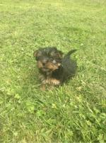 Miniature Yorkshire Terrier for sale.