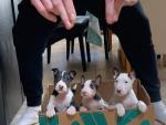 English Bull Terrier for sale.