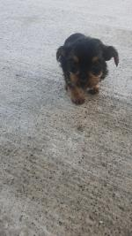 Yorkie terrier puppies for sale.