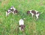 Springer spaniel puppies x 4 male for sale.