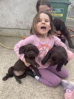 Labrador cross retriever for sale.