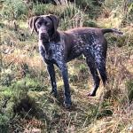 German short tailed pointer for sale.