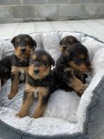 Airedale terrier for sale.
