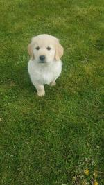 Female Golden retriever for sale.